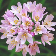 Декоративен лук Roseum 1 бр