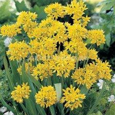 Декоративен лук / Allium moly Jeannine /- 1 бр