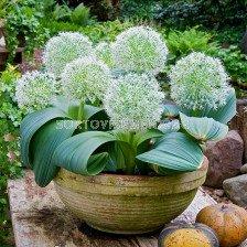 Декоративен лук /Allium Ivory Queen/ 1 бр