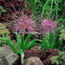 Декоративен лук /Allium Schubertii/ 1 бр