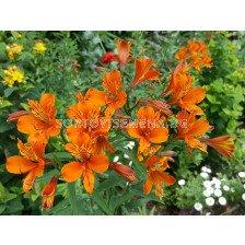 Алстромерия /Alstroemeria aurea 'Orange King'/ 1 бр