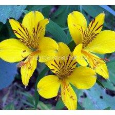 Алстромерия жълта