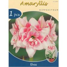 Амарилис (Amaryllis Hippeastrum) Elvas