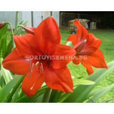 Амарилис (Amaryllis Hippeastrum) Orange