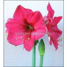 Амарилис (Amaryllis Hippeastrum) Pink