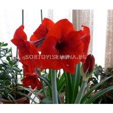 Амарилис (Amaryllis Hippeastrum) Red