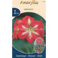 Амарилис (Amaryllis Hippeastrum) Striped