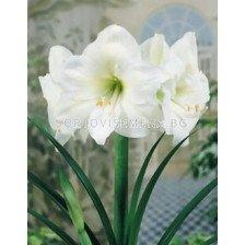 Амарилис (Amaryllis Hippeastrum) White