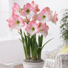Амарилис Apple blossom - Amaryllis Apple blossom
