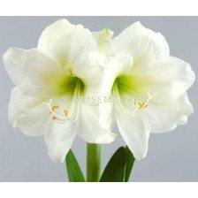 Амарилис Бял - Amaryllis white