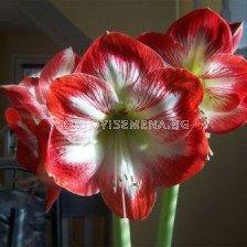 Амарилис (Amaryllis) Червено с Бяло