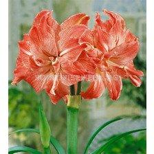 Амарилис кичест (Amaryllis Hippeastrum) Lady Jane