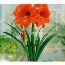 Амарилис (Amaryllis) Orange Sovereign