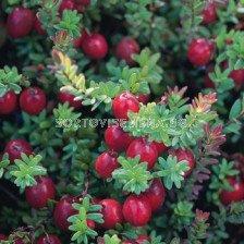 Американска червена боровинка (Vaccinium Macrocarpon)