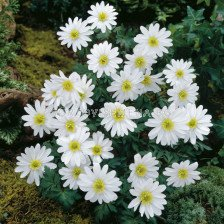 Анемоне /Anemone blanda  White Splendour/ 1 бр