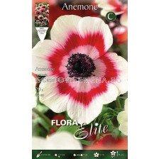 анемоне Bicolor