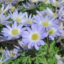 Анемоне /Anemone blanda Blue Splendour / 1 бр