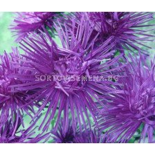 Астра / Callistephus chinensis Needle blue/ LG - 1 оп