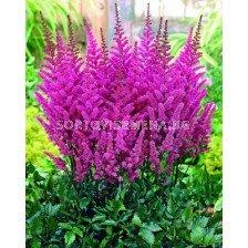 Астилбе (Astilbe) Пурпурно - Glorie Purpurea