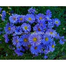 Астра /Aster Novi-Belgii Blue/ 1 коренище