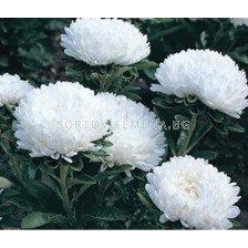 Астра / Callistephus chinensis dwarf Milady white/ LG - 1 оп