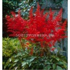 Астилбе (Astilbe) Червено