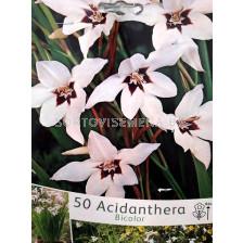 Ацидантера Bicolor (звездна гладиола)