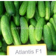 Семена корнишони Атлантис F1 - 250С