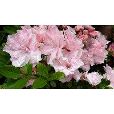 Азалия розова /Azalea Japonica Pink / 1 бр