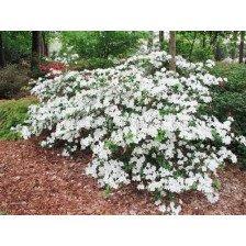 Азалия- бяла - Azalea Japonica White