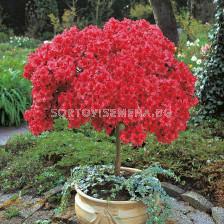 Азалия червена - Azalea Japonica Red