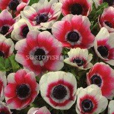 Анемоне бяло-червено /Anemone coronaria bicolor/