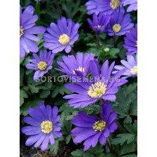 Анемоне (Anemone) Blanda Blue