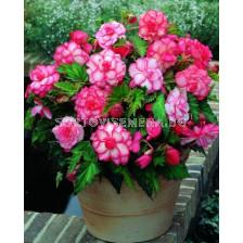 Бегония (Begonia) Bouton de rose