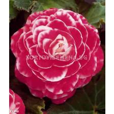 Бегония (Begonia) Camellia Flora