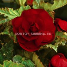 Бегония (Begonia) Double Darkred