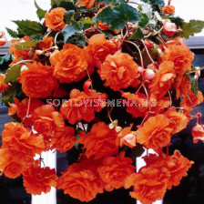 Бегония (Begonia ) Double Pendula Orange