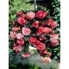 бегония Balcony Pink (каскадна) - Begonia Balcony Pink (cascade)