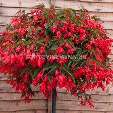 Бегония (Begonia) Bertini Boliviensis 28+