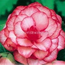 бегония Bouton de rose - Begonia Bouton de rose