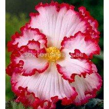 Бегония (Begonia) Crispa Marginata White