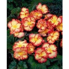 Бегония (Begonia) Crispa Marginata Yellow