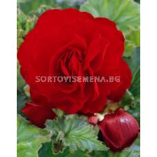 Бегония (Begonia) Double Scarlet