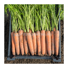 Семена за моркови БЕРМУДА (Bermuda F1) фракция 1.8 - 2.0 mm. BJ