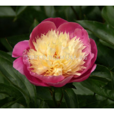Божур  Bowl of Beauty - Peony Bowl of Beauty