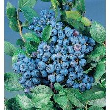 Боровинка (Vaccinium Corymbosum Bluecrop)