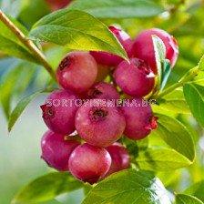 Боровинка (Vaccinium Corymbosum Pink Lemonade)