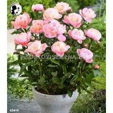 Божур (Peony) Baby Pink (40 см)