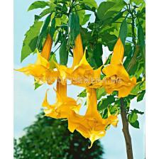 Бругманзия (Brugmansia Double Angel's) – жълта