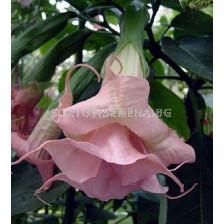 Бругманзия (Brugmansia Double Angel's) – розова
